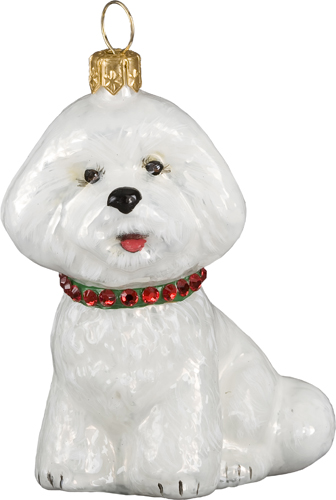 Bichon Frise with Collar